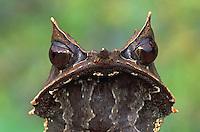 Long-nosed Horned Frog (Megophrys nasuta), adult, Gunung Gading National Park, Sarawak, Borneo, Malaysia
