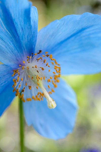 Meconopsis (Fertile Blue Group) 'Lingholm'