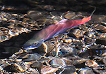 Kokanee salmon swim in Taylor Creek in South Lake Tahoe, Ca., on Friday, Sept. 23, 2011..Photo by Cathleen Allison