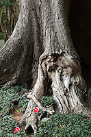 Detail of the gnarled roots of a large and ancient tree