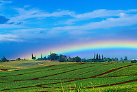 Rainbow over a Kapalua pineapple plantation of Maui Land and Pineapple. Hand-planted crowns mature in 18 months in the center of a prickly bush.