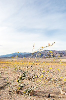 Wildflowers on Highway 190. Death Valley National Park, California.