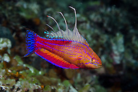 Male Walton's Flasher Wrasse, Paracheilinus walton, endemic to Cenderawasih Bay. Kwatisore, West Papua, Indonesia, Pacific Ocean