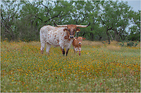 Does it get more Texas than this? Longhorns in a modest field of wildflowers! I captured this picture of these regal creatures at a friends ranch in the Texas Hill Country
