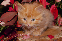 Gold tabby kitten on a stump near a fall burning bush (Euonymous) leaves, Midwest USA