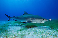 RW4259-D. Tiger Shark (Galeocerdo cuvier), a large and dangerous species growing to at least 18 feet long; feeds on wide variety of things- sea turtles, fish, invertebrates, marine mammals; found in shallow coastal waters as well as the deep open ocean. Bahamas, Atlantic Ocean.<br /> Photo Copyright &copy; Brandon Cole. All rights reserved worldwide.  www.brandoncole.com