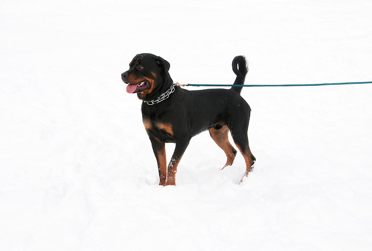 California, Lake Tahoe: Young Rottweiler dog 15 month old in the snow at  North Lake Tahoe Regional Park.  Photo copyright Lee Foster.  Photo # cataho107542