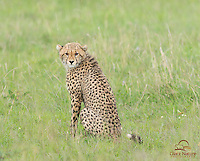 Cheetah cub (Acinonyx jubatus) scowls at photographers, Masai Mara