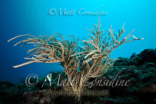 Coral branch with Moorish Idol, Palau Micronesia. (Photo by Matt Considine - Images of Asia Collection) (Matt Considine)