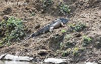 0625-1105  Male Green Iguana (Common Iguana), On River Bank in Belize, Iguana iguana  © David Kuhn/Dwight Kuhn Photography