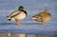 Stockente, Männchen und Weibchen, Pärchen, Paar im Winter auf Eis stehend, Stock-Ente, Anas platyrhynchos, mallard