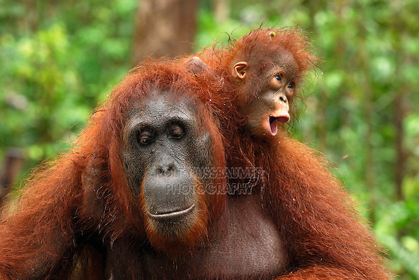 Borneo Orangutan (Pongo pygmaeus),  female with baby after rain, Camp Leaky, Tanjung Puting National Park, Kalimantan, Borneo, Indonesia