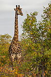 South African Giraffe (Giraffa giraffa giraffa) male, Kruger National Park, South Africa
