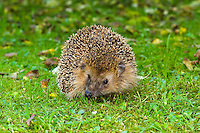 Europäischer Igel, Westigel, Braunbrustigel, West-Igel, Braunbrust-Igel, Erinaceus europaeus, western hedgehog, European hedgehog, Le hérisson commun, hérisson européen, hérisson d'Europe, hérisson d'Europe occidentale, hérisson d'Europe de l'Ouest