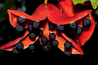 Tropical Chestnut flower, Sterculia sp, with black ripe fruit capsules with seeds, Rainforest Discovery Centre, Sepilok National Park, Sandakan, Sabah, Northeastern Borneo, Malaysia