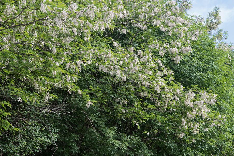 Acacia (Robinia spec.), bloeiend