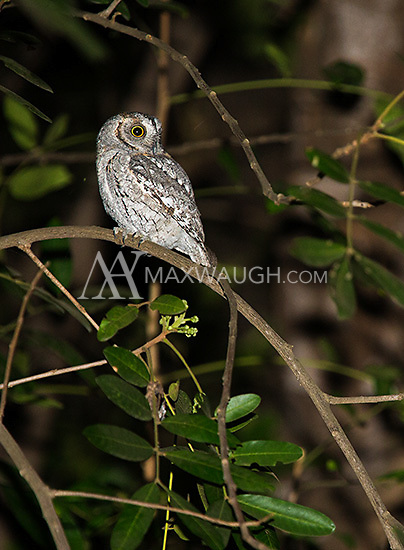 The African scops owl is tiny.  They are reliably seen in the Satara campground in Kruger.