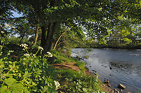 Spring branches and wildflowers on the river Ure,north Yorkshire, England.