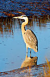 Blue Heron at Dusk, Upper Newport Bay, CA.