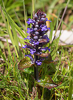 Wild blue orchid, Whitewell, Lancashire.