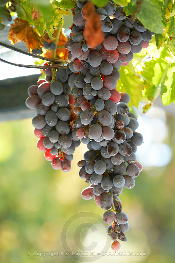 grape bunch quinta do vallado douro portugal