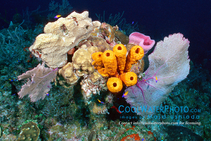 coral head, encrusted with a variety .of colorful sponges and gorgonians, .Bloody Bay Wall, Little Cayman, .Cayman Islands (Caribbean)