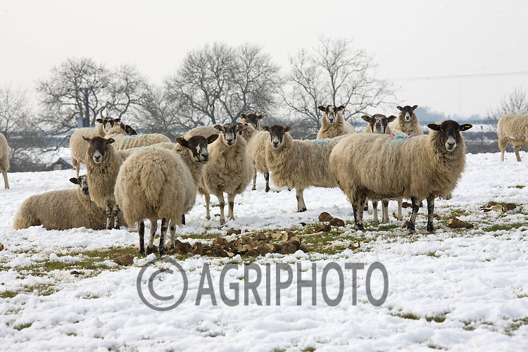 Ewes are fed sugar beet in the snow at Uffington near Stamford,Lincolnshire..Picture by Tim Scrivener date taken 10th Feb 2012.mobile 07850 303986 e-mail tim@agriphoto.com.....covering agriculture in The United Kingdom....