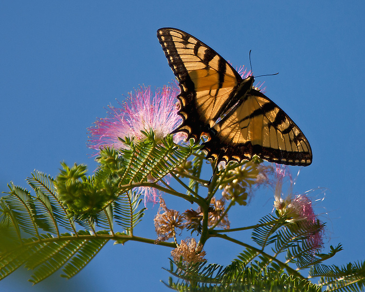 A male Tiger Swallowtail hanging on a pink Mimosa tree with the sun shinning through its wings and all against a bright blue sky.