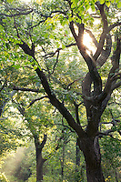 Oak tree and sun, Waubonsie State Park, Fremont County, Iowa
