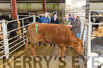 Supreme Champion & Champion Bullock at the Iveragh Mart on Tuesday went to James O'Sullivan from Laharn with his Limousine Bullock, pictured here l-r; Austin Constable AIB Sponsor, Cathriona Pyne AIB, James O'Sullivan & Nially O'Shea Chairman Iveragh Mart.  Lot 331, born Jan 2015 & weighing 615kg sold for €1,350.