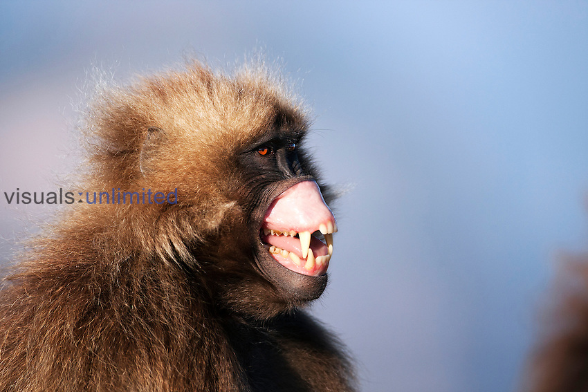 Gelada sub-mature male showing aggression by lip flipping warning display (Theropithecus gelada), Simien Mountains National Park, Ethiopia.