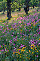 Padres shooting star, johnny-jump-up and blue oaks<br />