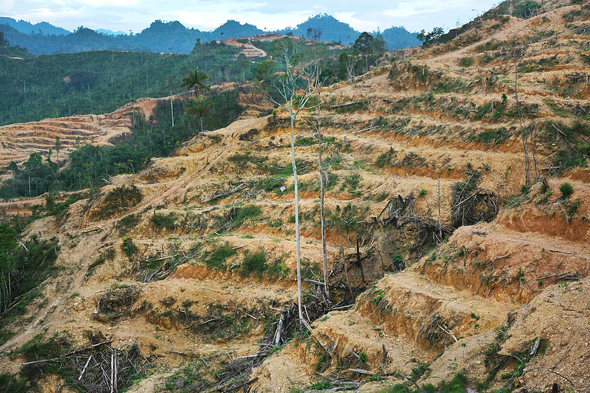 Ground level view across thousands of hectares of palm oil plantations. This was originally unspoilt primary rainforest. Baram, Sarawak, Malaysia 2015<br /> <br /> These regions were were part of the world's oldest rainforest, which dates back 160 million years. The indigenous native communities' survival depends on sustainable development of primary rainforest, a biodiversity resource, with countless insects, an array of birds and endangered species, which support one of the most diverse tropical ecosystems in the world. <br /> <br /> Borneo native peoples and their rainforest habitat revisited two decades later: 1989/1991 and 2012/2014/2015. <br /> <br /> Sarawak's primary rainforests have been systematically logged over decades, threatening the sustainable lifestyle of its indigenous peoples who relied on nomadic hunter-gathering and rotational slash & burn cultivation of small areas of forest to survive. Now only a few areas of pristine rainforest remain; for the Dayaks and Penan this spells disaster, a rapidly disappearing way of life, forced re-settlement, many becoming wage-slaves. Large and medium size tree trunks have been sawn down and dragged out by bulldozers, leaving destruction in their midst, and for the most part a primary rainforest ecosystem beyond repair. Nowadays palm oil plantations and hydro-electric dam projects cover hundreds of thousands of hectares of what was the world's oldest rainforest ecosystem which had some of the highest rates of flora and fauna endemism, species found there and nowhere else on Earth, and this deforestation has done irreparable ecological damage to that region