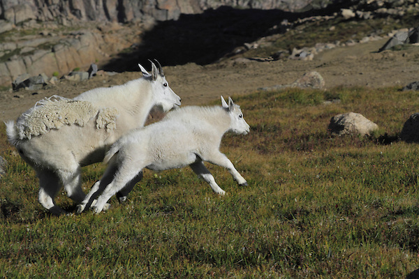 Mountain Goat nanny (Oreamnos americanus) and kid goat running on the slopes of Mount Evans (14,250 feet), Rocky Mountains, west of Denver, Colorado, USA Wildlife  photo tours to Mt Evans. .  John leads private, wildlife photo tours throughout Colorado. Year-round.