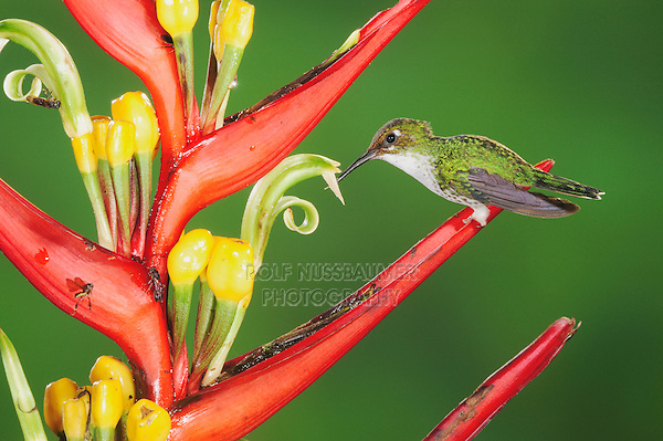 Booted Racket-tail (Ocreatus underwoodii), female feeding from heliconia flower,Mindo, Ecuador, Andes, South America