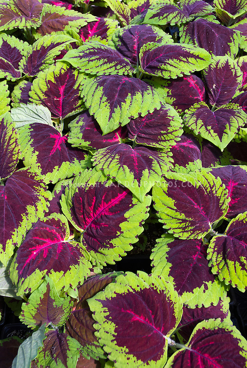 Coleus 'Kong Rose' Solenostemon. Big leafed foliage plant in green and red and purple colors