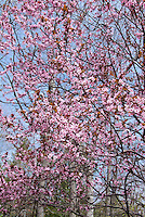 Prunus cerasifera Purple leaf sand plum in spring bloom