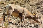 Bighorn Sheep, Female, Gardner Canyon, North Entrance, Yellowstone National Park, Wyoming