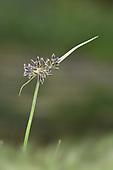 Brown Gallingale - Cyperus fuscus