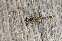 Schwarze Heidelibelle, junges, noch nicht vollständig ausgefärbtes Männchen, Sympetrum danae, Black Darter, Black Meadowhawk, male