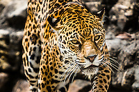 Jacksonville Zoo, Khan, eight month old Jaguar