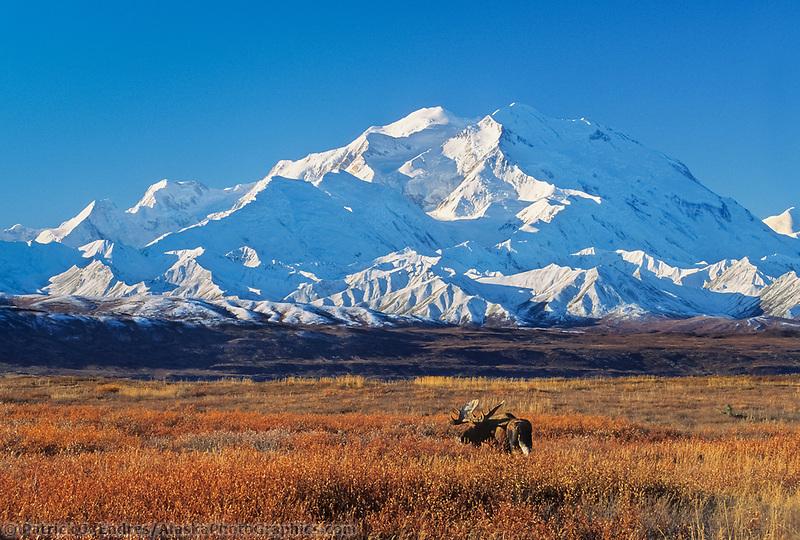 20, 3020+ Ft. Mt. Denali, Bull Moose In Autumn Tundra Grasses, Denali National Park, Alaska