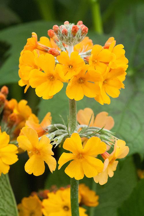 Primula bulleyana, mid May.
