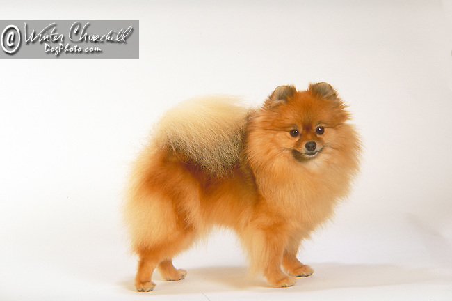 Pomeranian<br />