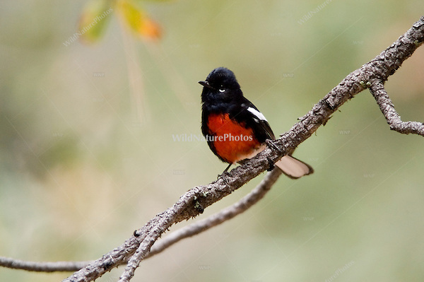 A Painted Redstart, Myioborus pictus, hunting for insects