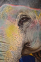 Colorfully decorated elephant, Amber Fort, Jaipur, India