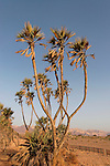 Israel, Arava. Palm Doum (Hyphaene thebaica) trees in Evrona, the northernmost location in the world of thes trees