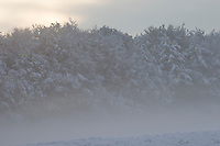 Verschneite Bäume, Baum, Waldrand, Schnee, Nebel, Wintereinbruch im November, Deutschland, Schleswig-Holstein. Winter, snow, tree, trees