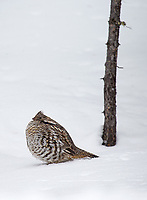 I sometimes see Ruffed grouse along the northeast road in winter.