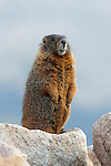 Yellowbelly Marmot Standing on Rock